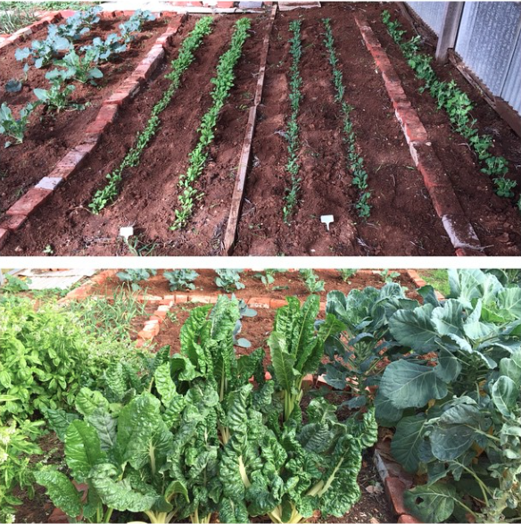 Alina's incredible veggie garden (just part of it!)
